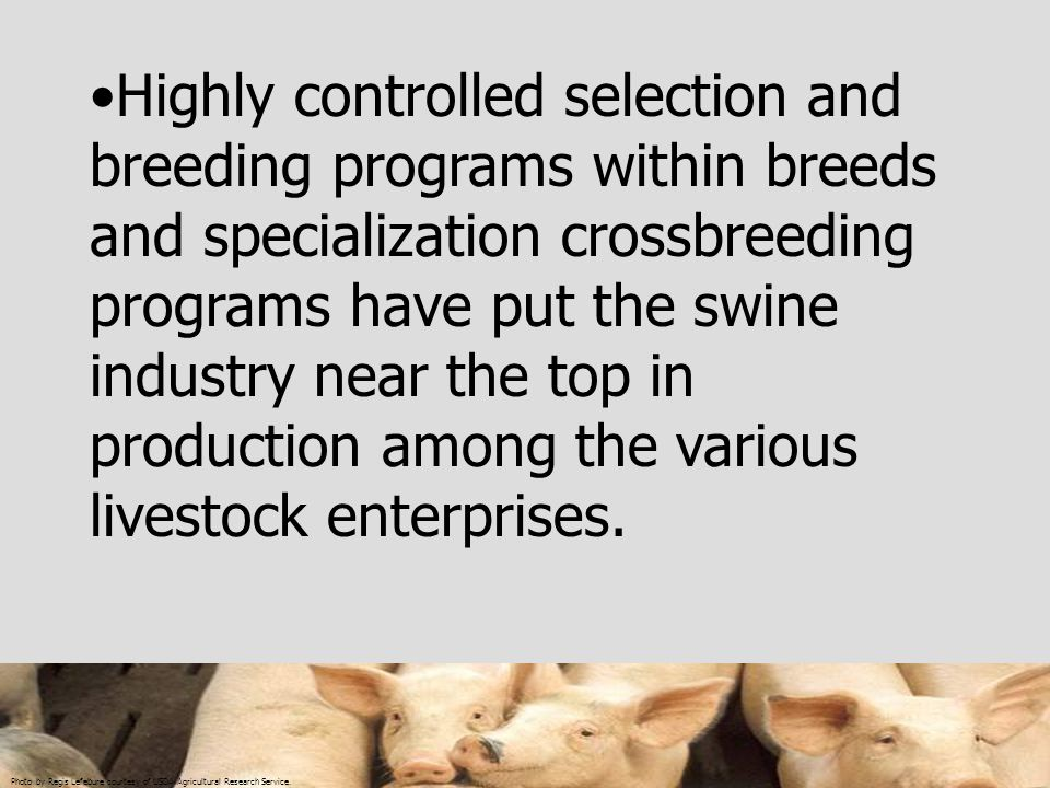 Highly controlled selection and breeding programs within breeds and specialization crossbreeding programs have put the swine industry near the top in production among the various livestock enterprises.