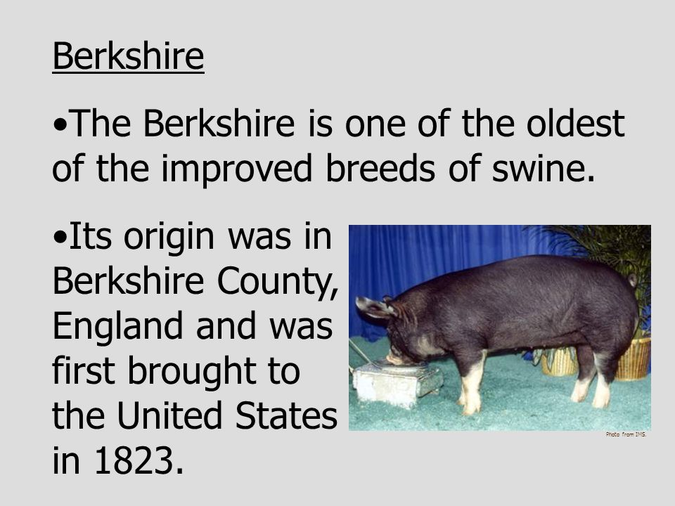 The Berkshire is one of the oldest of the improved breeds of swine.