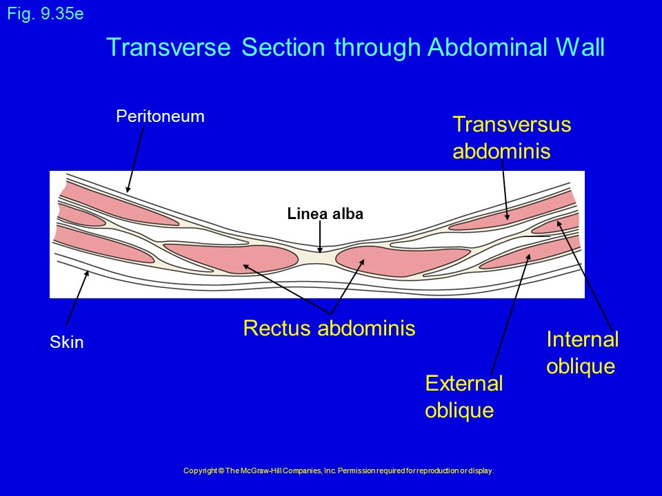 Transverse Section through Abdominal Wall