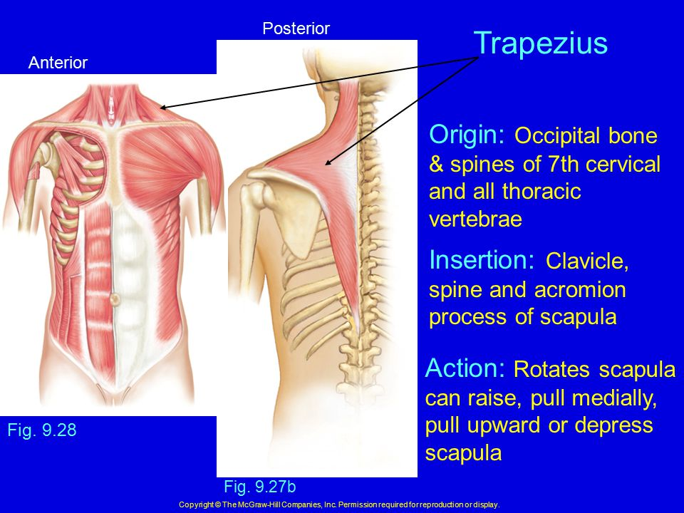 Trapezius Origin: Occipital bone Insertion: Clavicle,