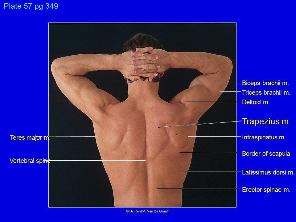 Trapezius m. Plate 57 pg 349 Biceps brachii m. Triceps brachii m.