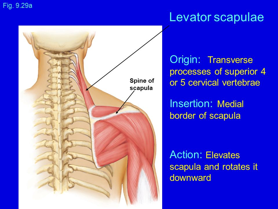Levator scapulae Origin: Transverse Insertion: Medial Action: Elevates