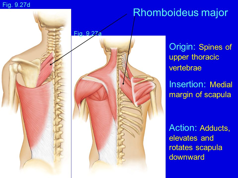 Rhomboideus major Origin: Spines of Insertion: Medial Action: Adducts,