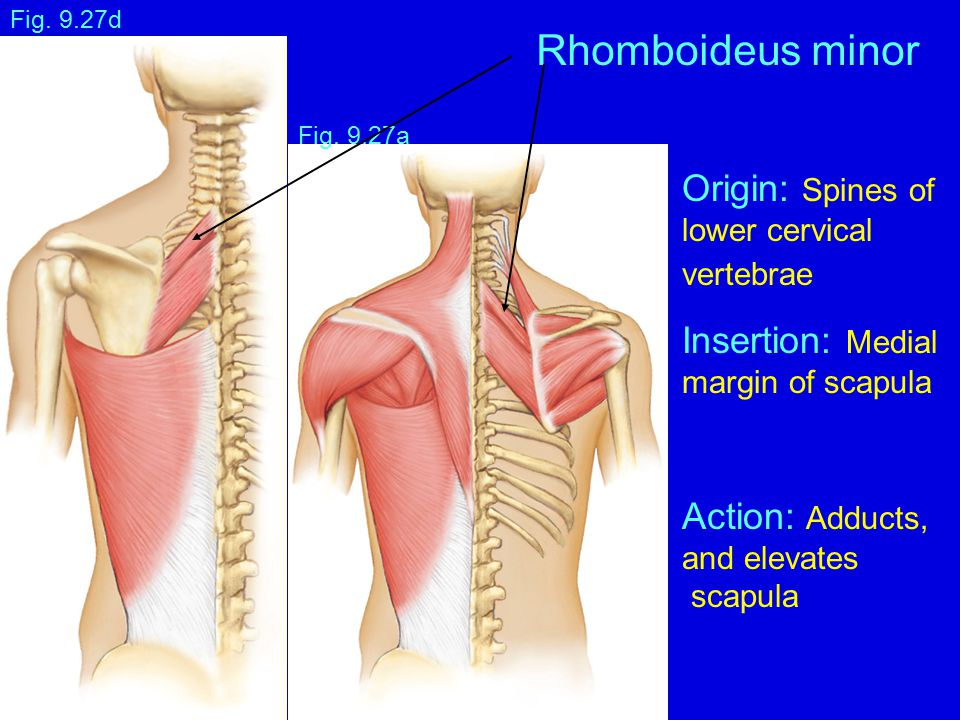 Rhomboideus minor Origin: Spines of Insertion: Medial Action: Adducts,