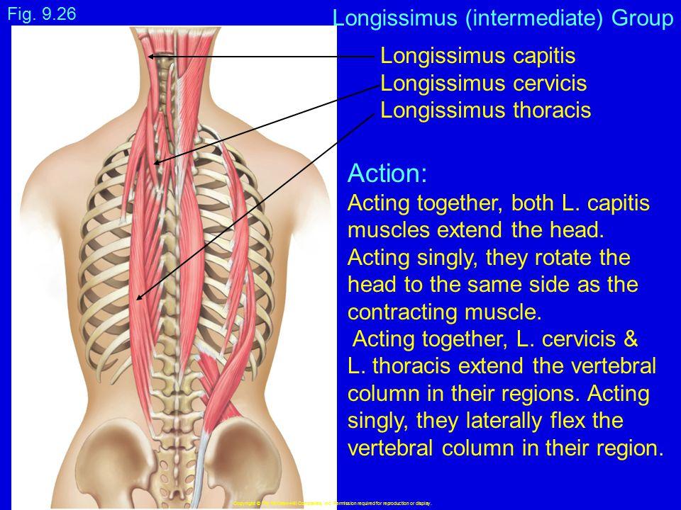 Action: Longissimus (intermediate) Group Longissimus capitis