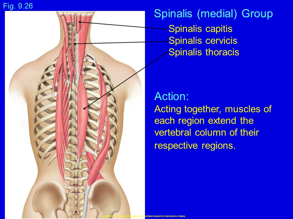 Spinalis (medial) Group