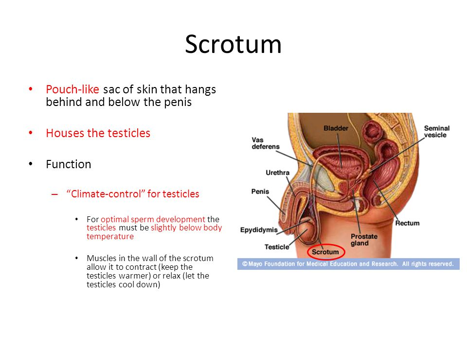 Scrotum Pouch-like sac of skin that hangs behind and below the penis