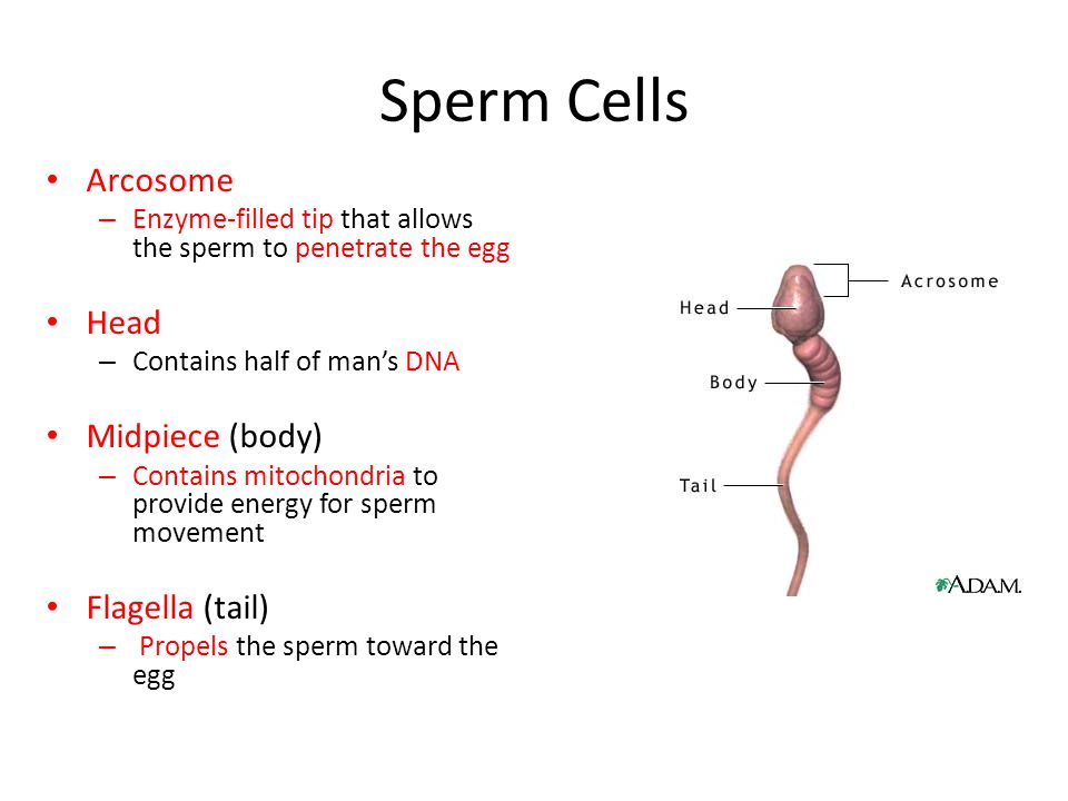 Sperm Cells Arcosome Head Midpiece (body) Flagella (tail)