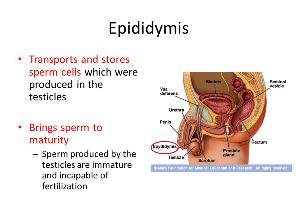 Epididymis Transports and stores sperm cells which were produced in the testicles. Brings sperm to maturity.