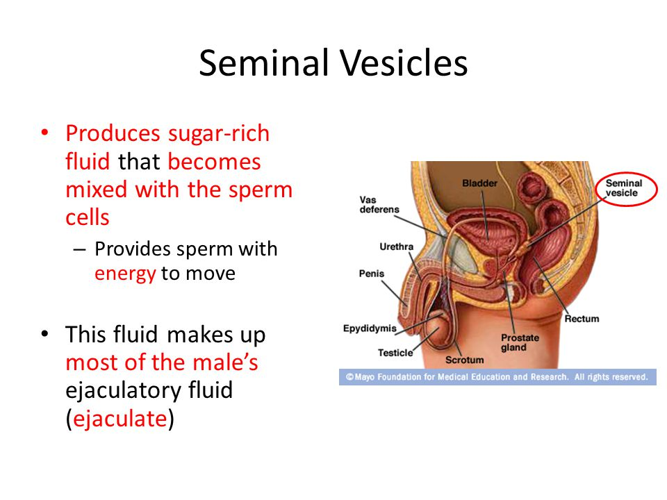 Seminal Vesicles Produces sugar-rich fluid that becomes mixed with the sperm cells. Provides sperm with energy to move.