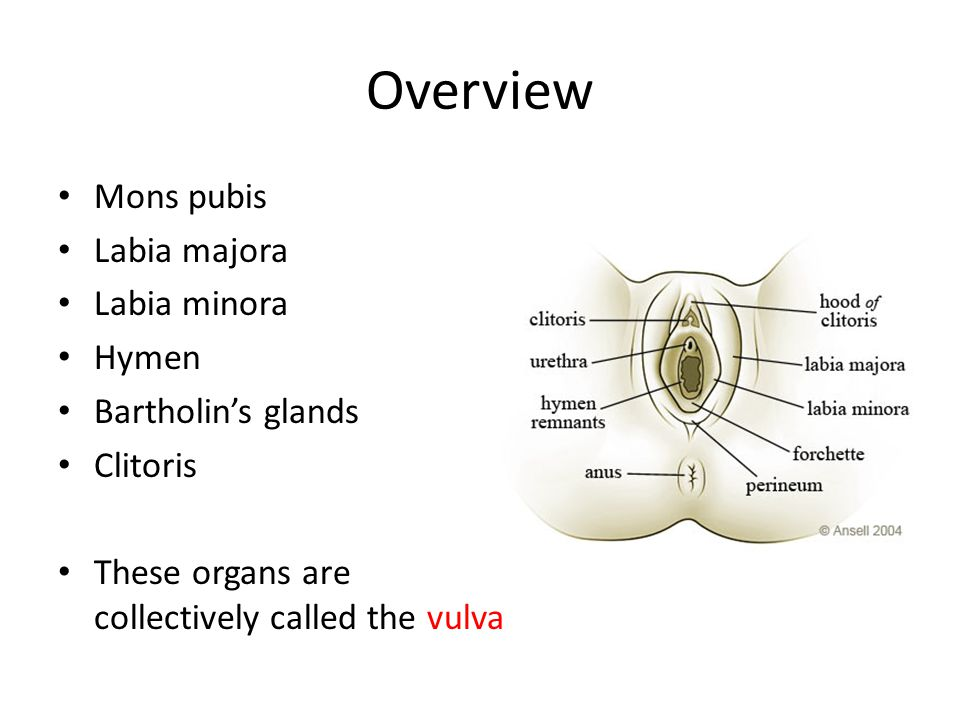 Overview Mons pubis Labia majora Labia minora Hymen Bartholin's glands