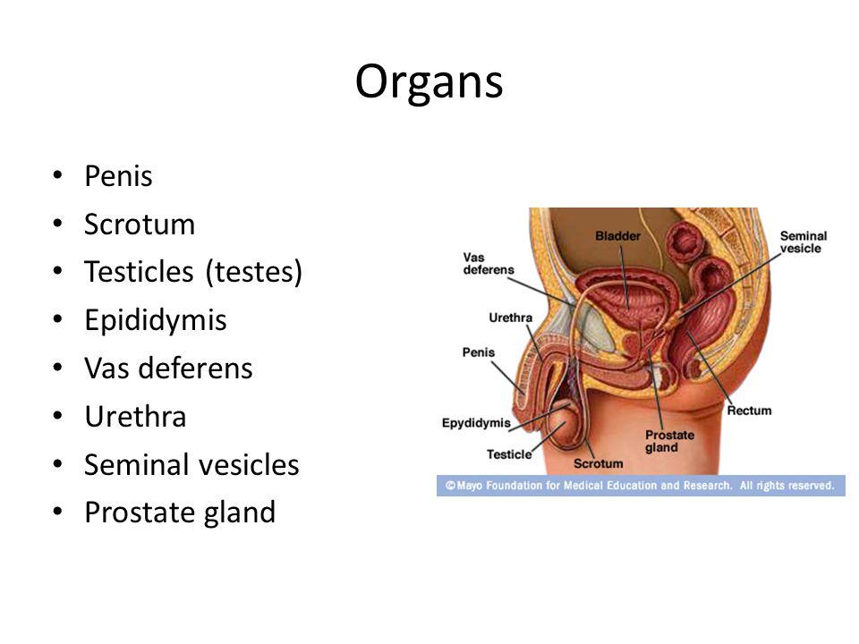 Organs Penis Scrotum Testicles (testes) Epididymis Vas deferens