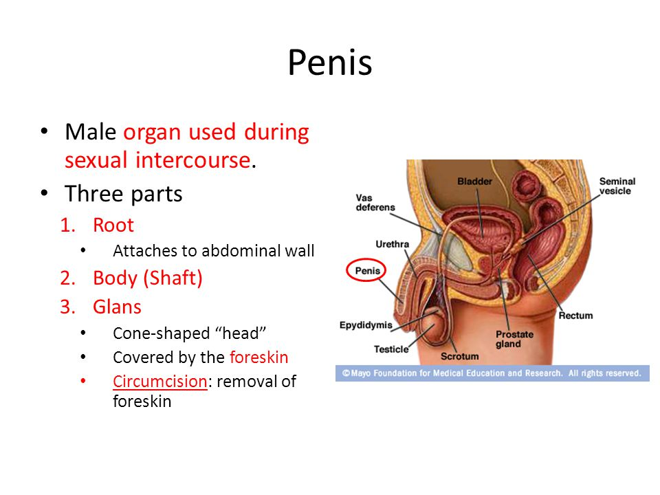 Penis Male organ used during sexual intercourse. Three parts Root