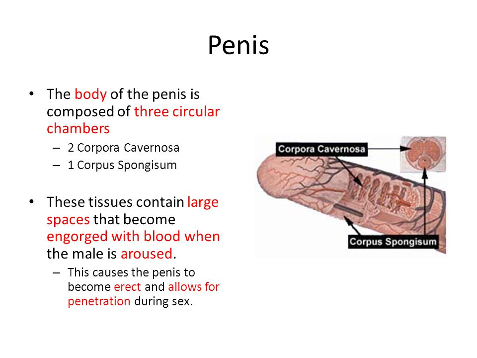 Penis The body of the penis is composed of three circular chambers