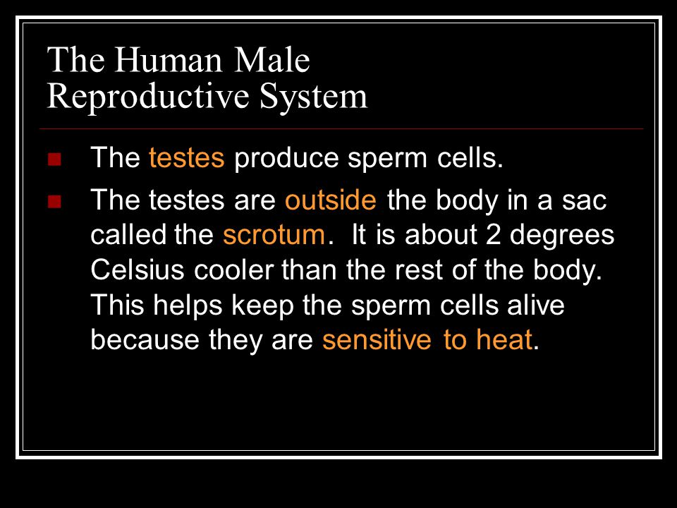 The Human Male Reproductive System
