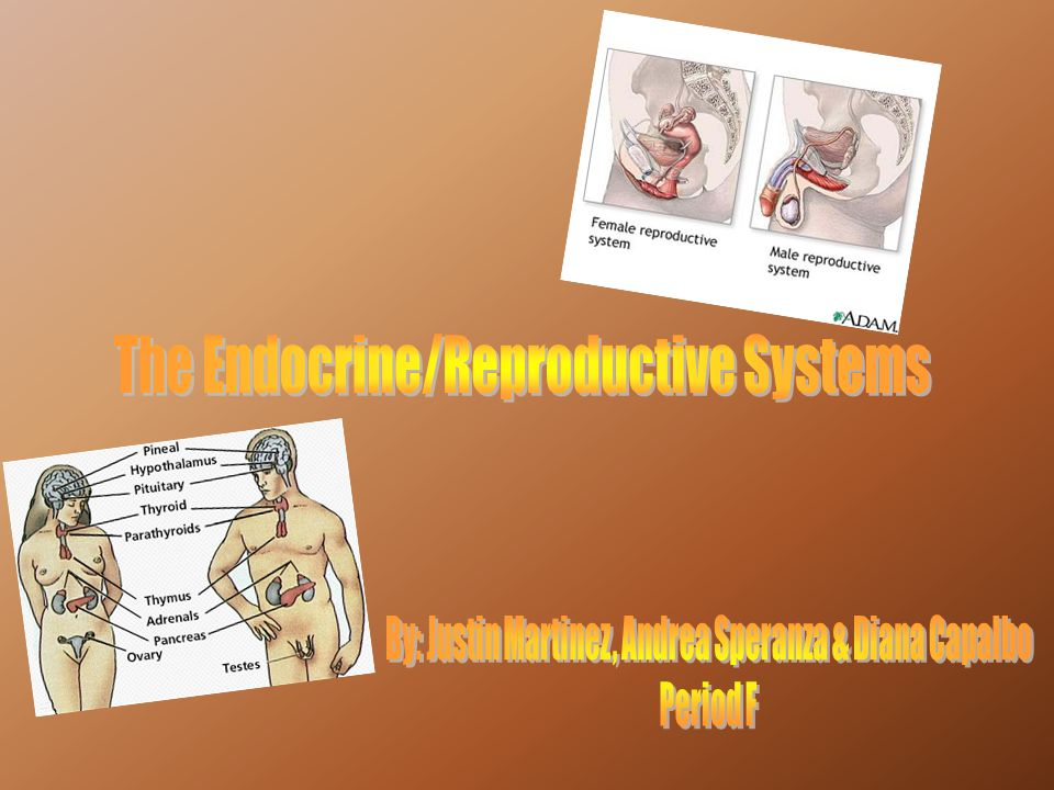 The Endocrine/Reproductive Systems