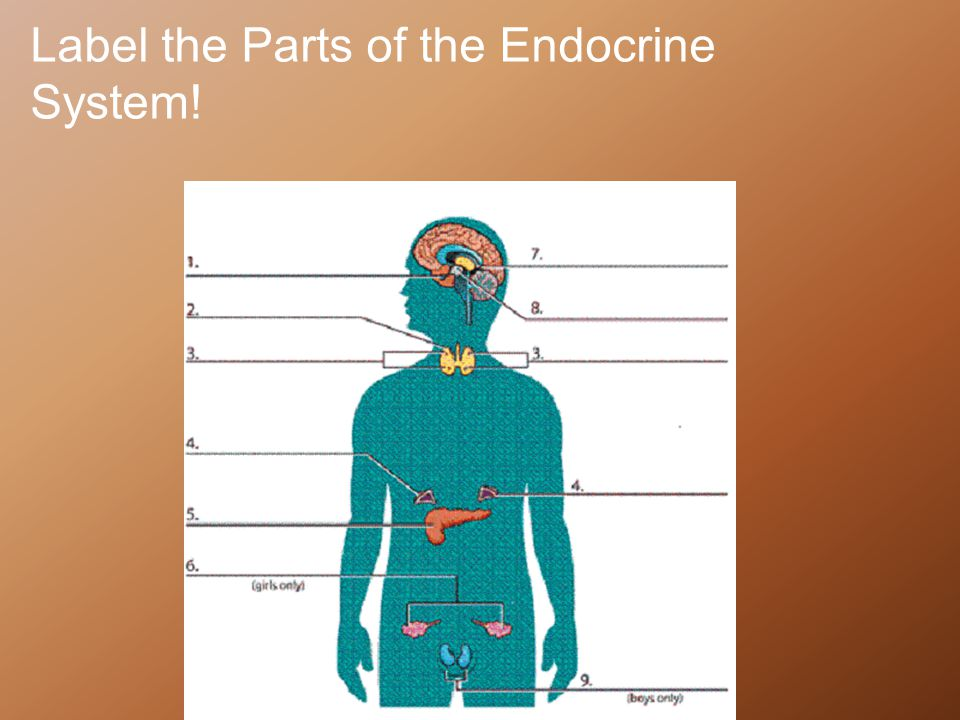 Label the Parts of the Endocrine System!