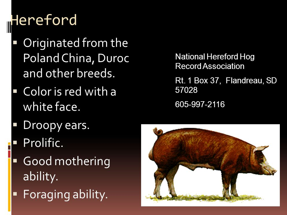 Hereford Originated from the Poland China, Duroc and other breeds.