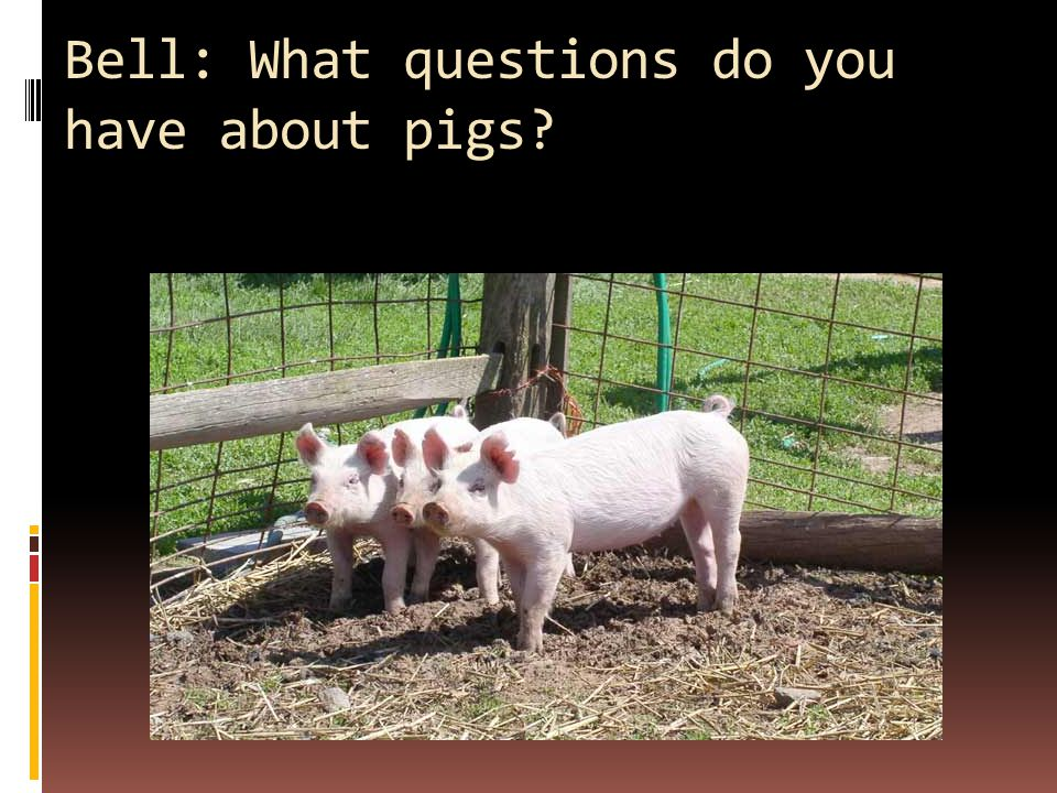 Bell: What questions do you have about pigs