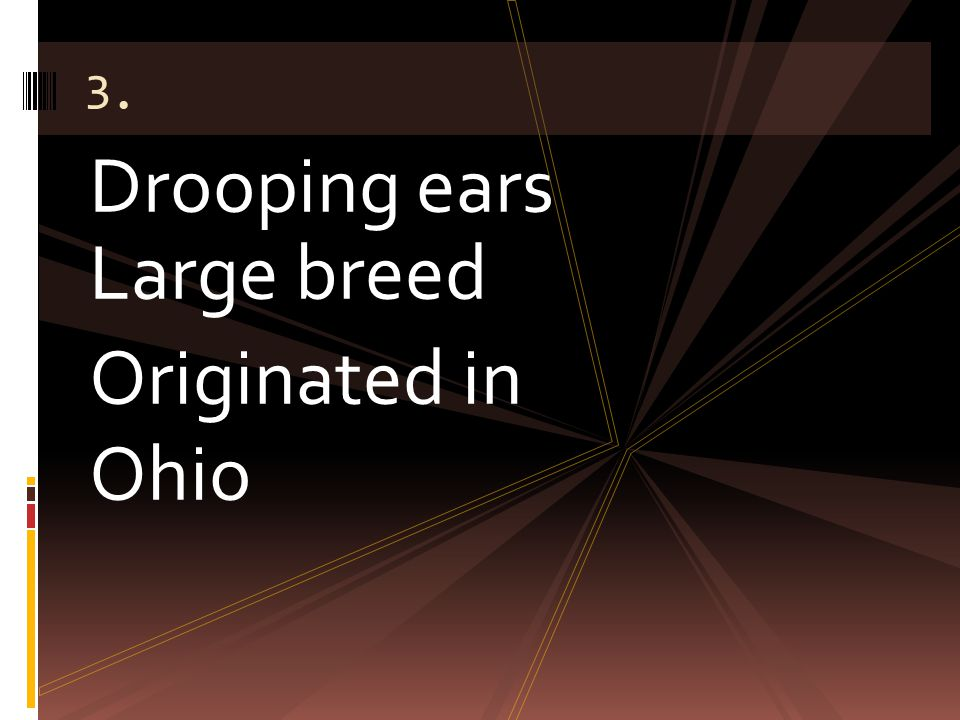 Drooping ears Large breed Originated in Ohio