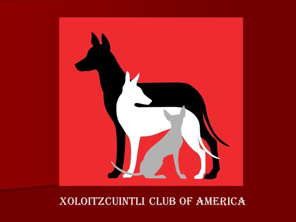 XOLOITZCUINTLI CLUB OF AMERICA