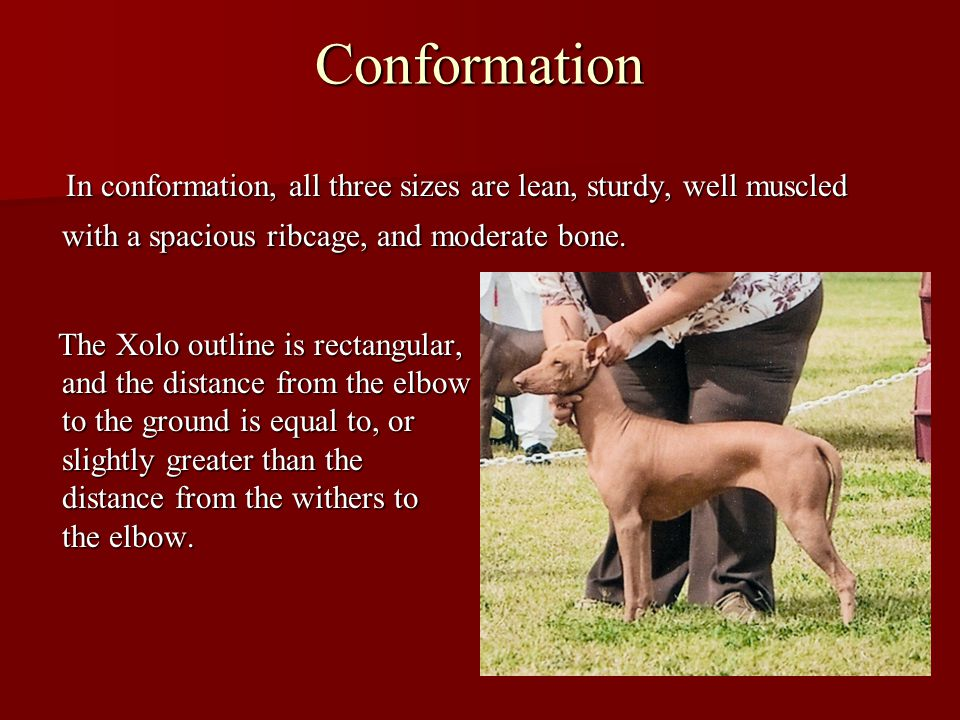 Conformation In conformation, all three sizes are lean, sturdy, well muscled with a spacious ribcage, and moderate bone.
