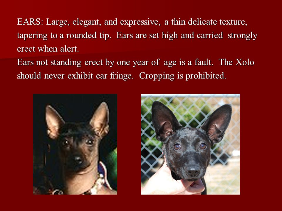 EARS: Large, elegant, and expressive, a thin delicate texture,