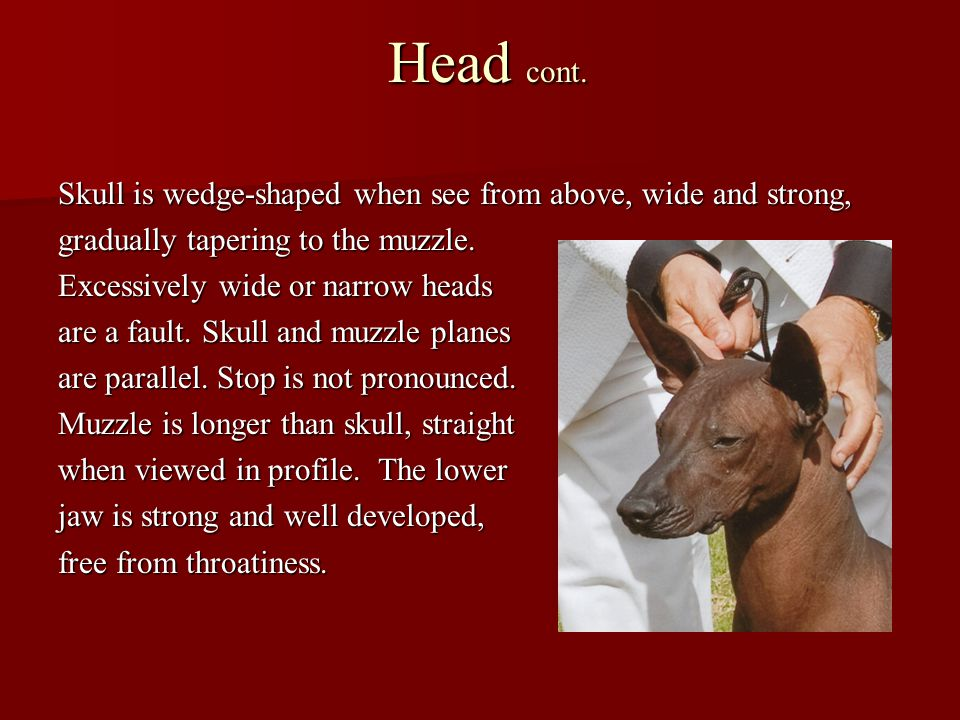 Head cont. Skull is wedge-shaped when see from above, wide and strong,
