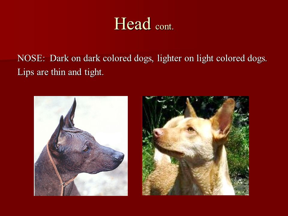 Head cont. NOSE: Dark on dark colored dogs, lighter on light colored dogs.