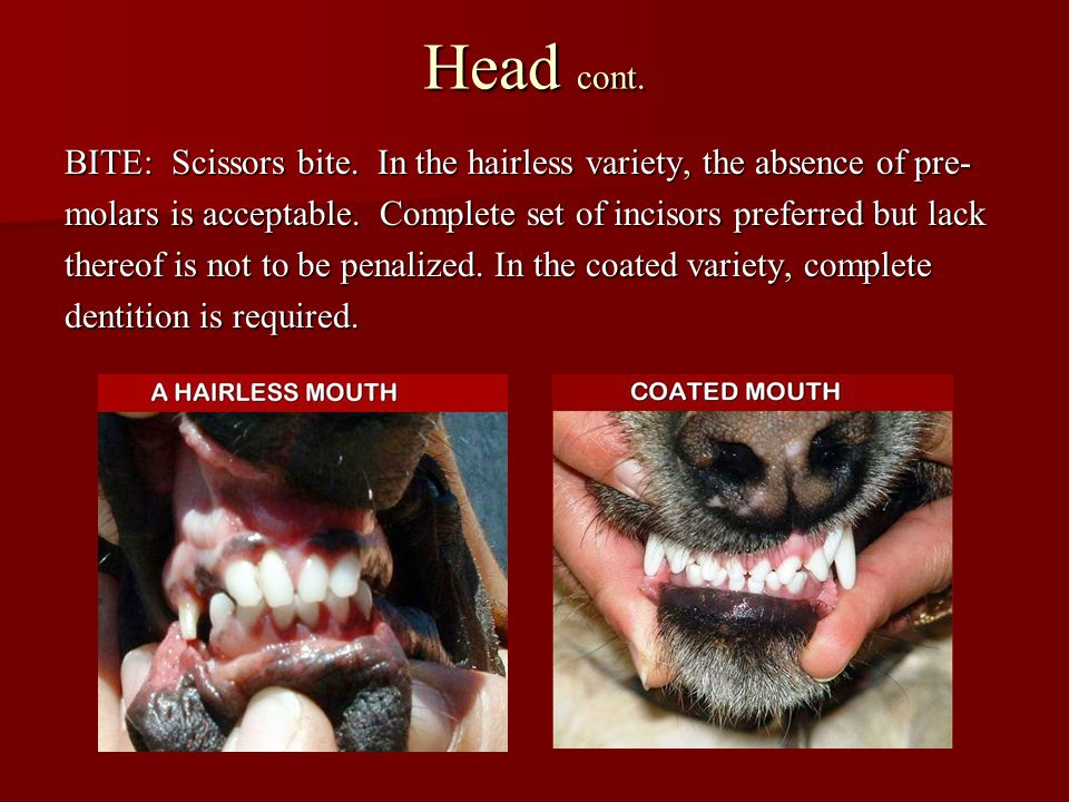 Head cont. BITE: Scissors bite. In the hairless variety, the absence of pre- molars is acceptable. Complete set of incisors preferred but lack.