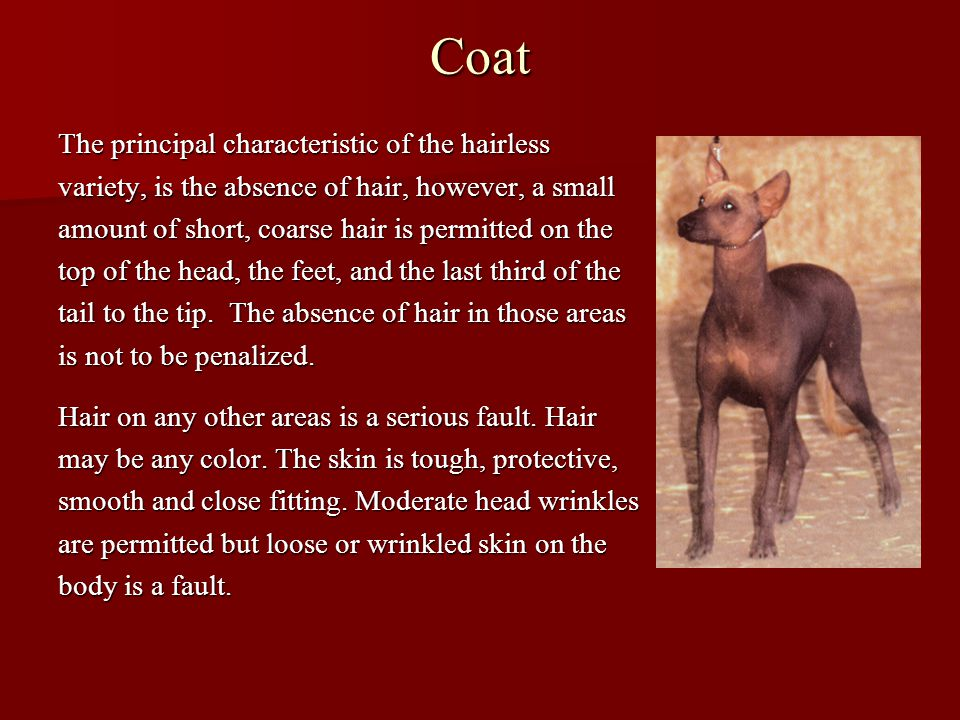 Coat The principal characteristic of the hairless