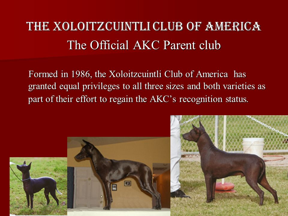 The Xoloitzcuintli Club of America The Official AKC Parent club