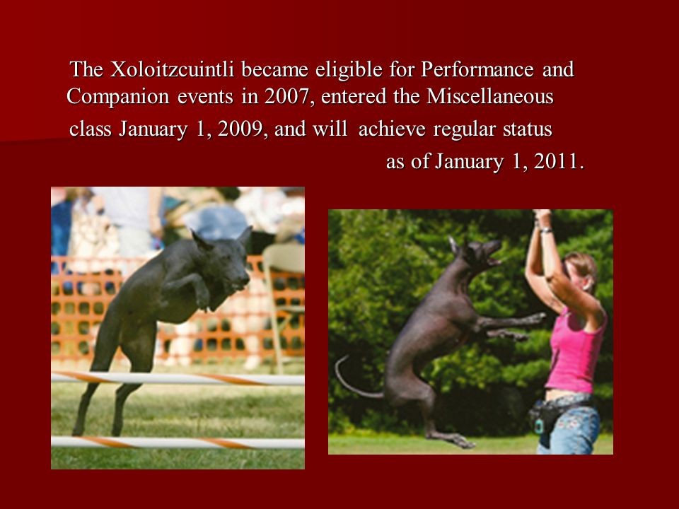 The Xoloitzcuintli became eligible for Performance and Companion events in 2007, entered the Miscellaneous