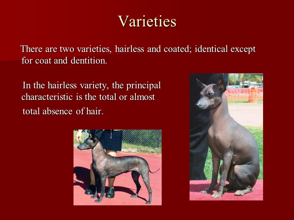 Varieties There are two varieties, hairless and coated; identical except for coat and dentition.