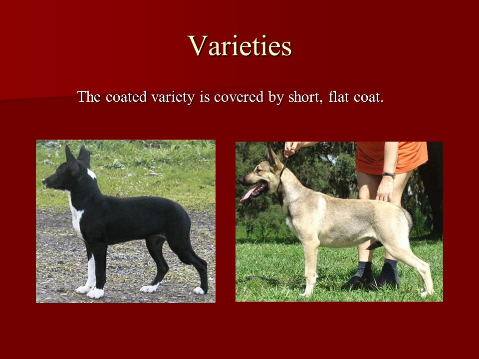 Varieties The coated variety is covered by short, flat coat.