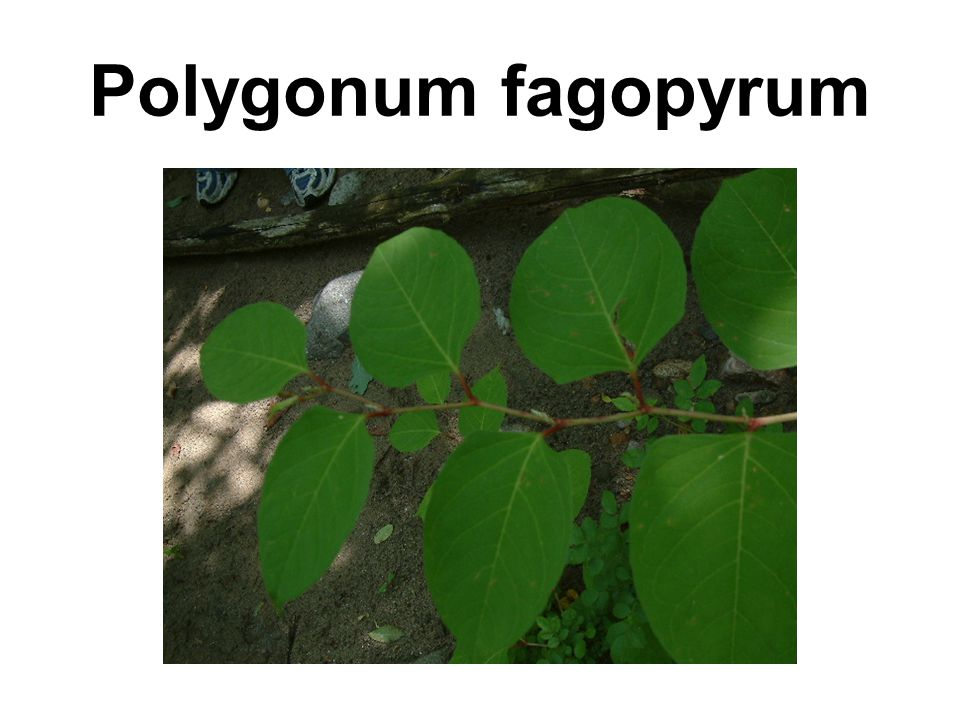 Polygonum fagopyrum