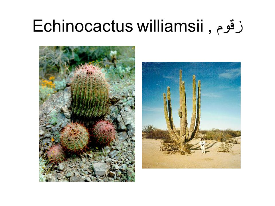 Echinocactus williamsii زقوم ,