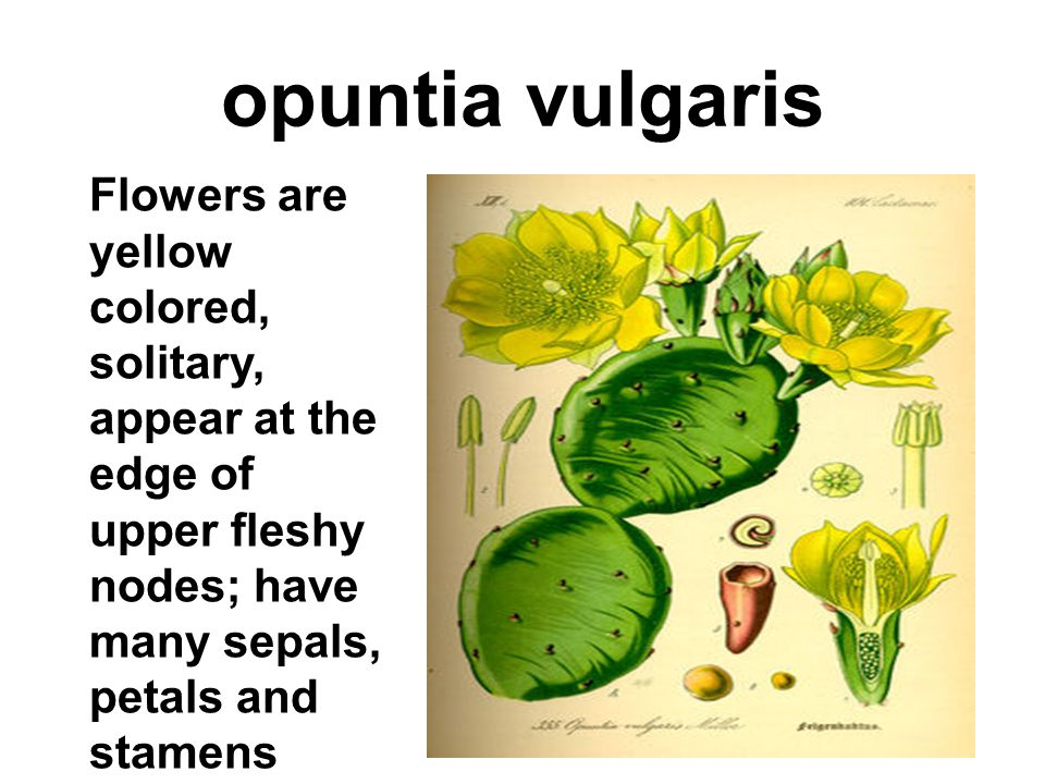 opuntia vulgaris Flowers are yellow colored, solitary, appear at the edge of upper fleshy nodes; have many sepals, petals and stamens.
