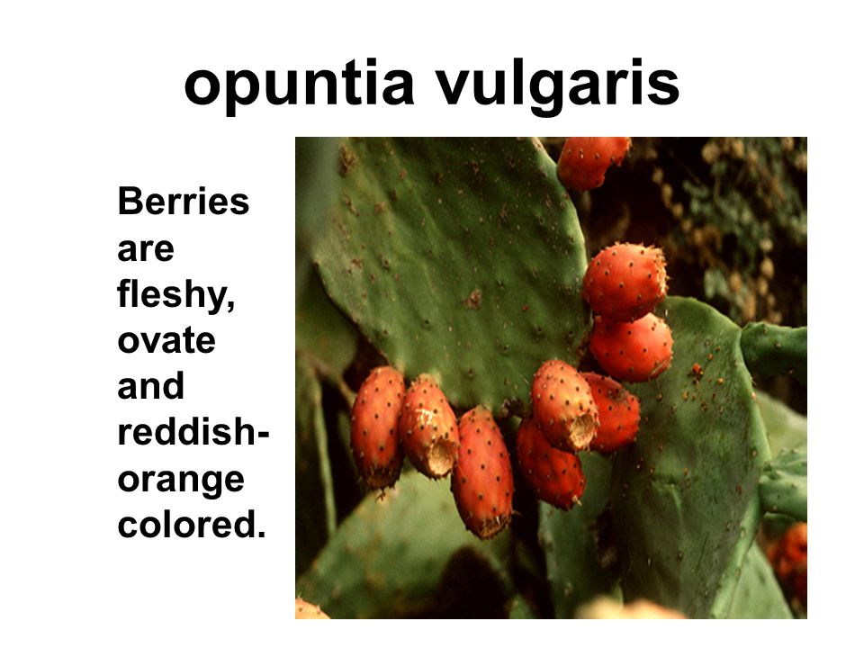 opuntia vulgaris Berries are fleshy, ovate and reddish-orange colored.
