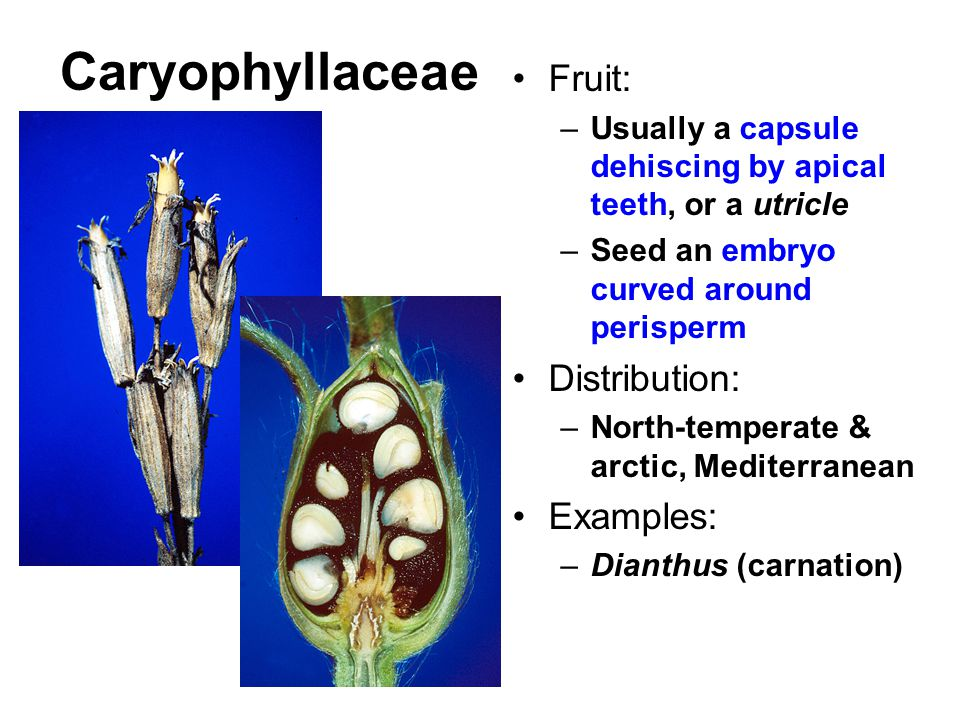 Caryophyllaceae Fruit: Distribution: Examples: