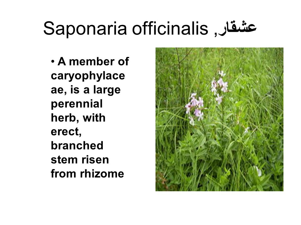 Saponaria officinalis عشقار,