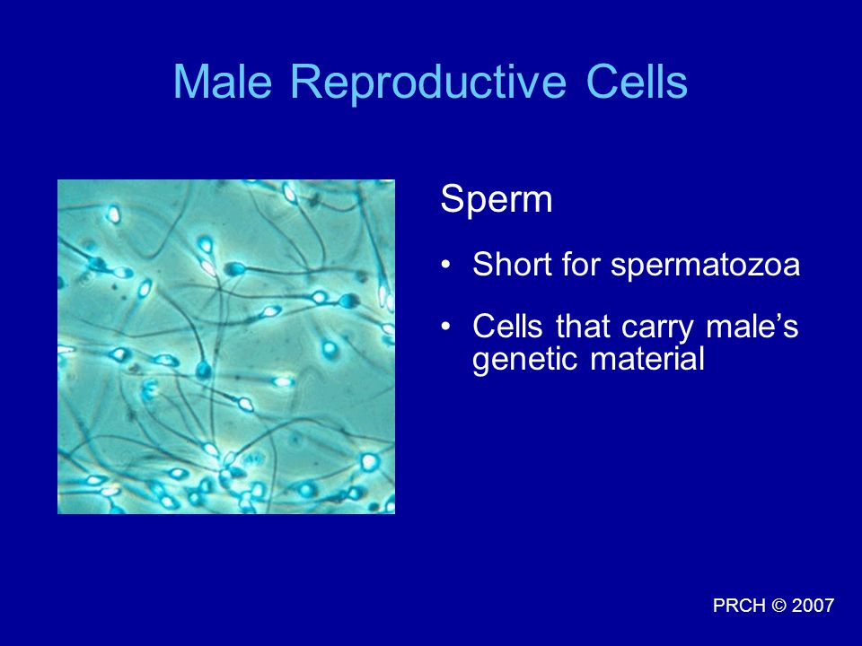 Male Reproductive Cells