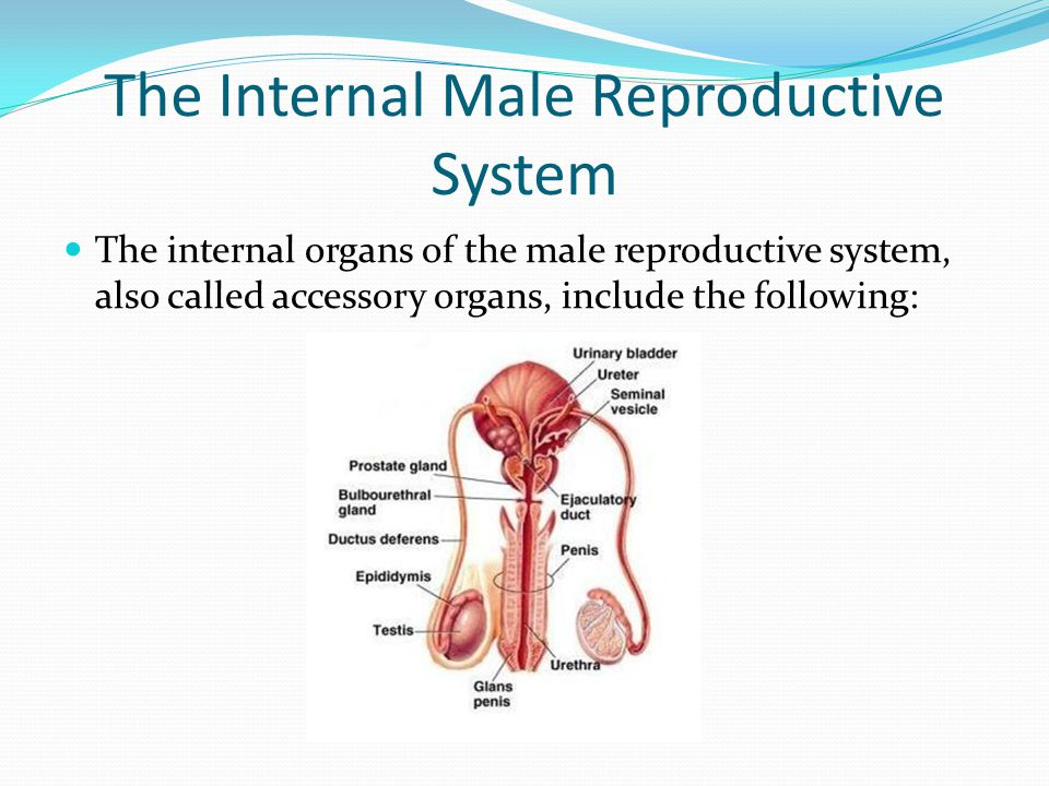 The Internal Male Reproductive System