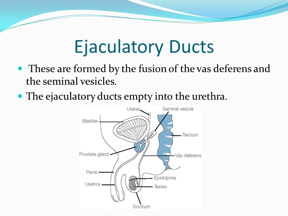 Ejaculatory Ducts These are formed by the fusion of the vas deferens and the seminal vesicles.