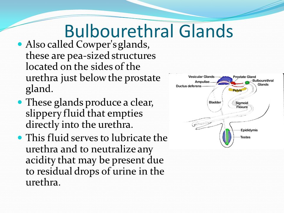 Bulbourethral Glands Also called Cowper s glands, these are pea-sized structures located on the sides of the urethra just below the prostate gland.