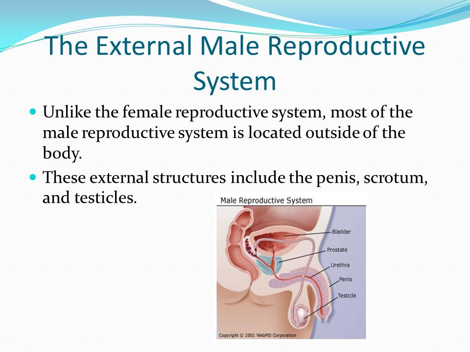 The External Male Reproductive System