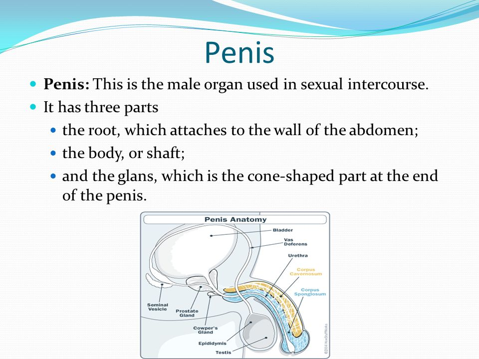 Penis Penis: This is the male organ used in sexual intercourse.