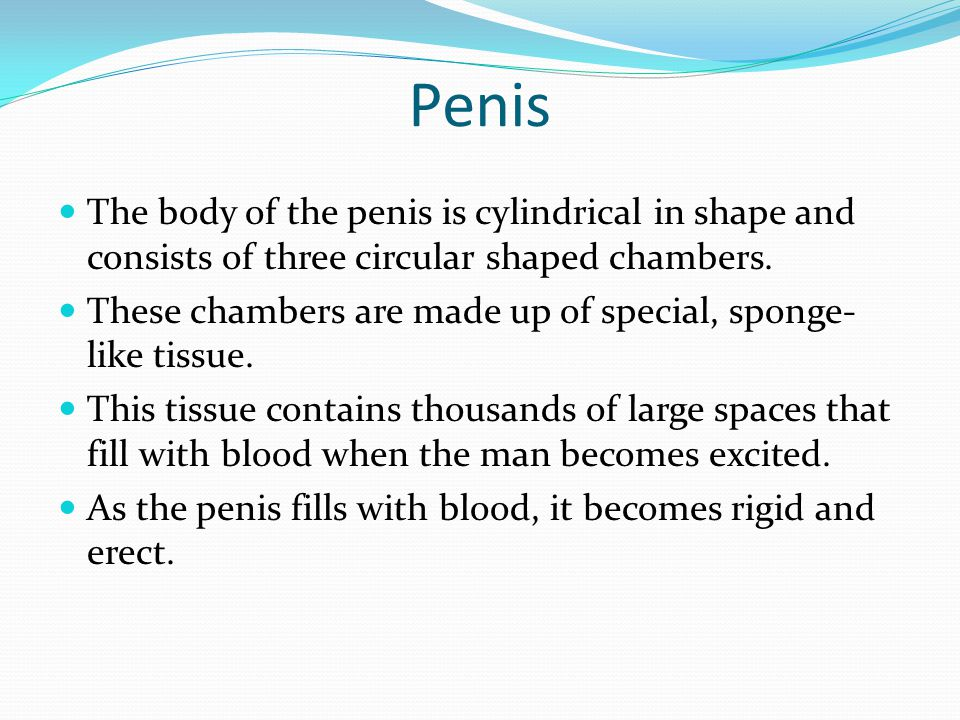 Penis The body of the penis is cylindrical in shape and consists of three circular shaped chambers.