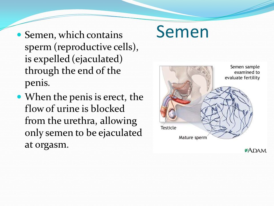 Semen Semen, which contains sperm (reproductive cells), is expelled (ejaculated) through the end of the penis.