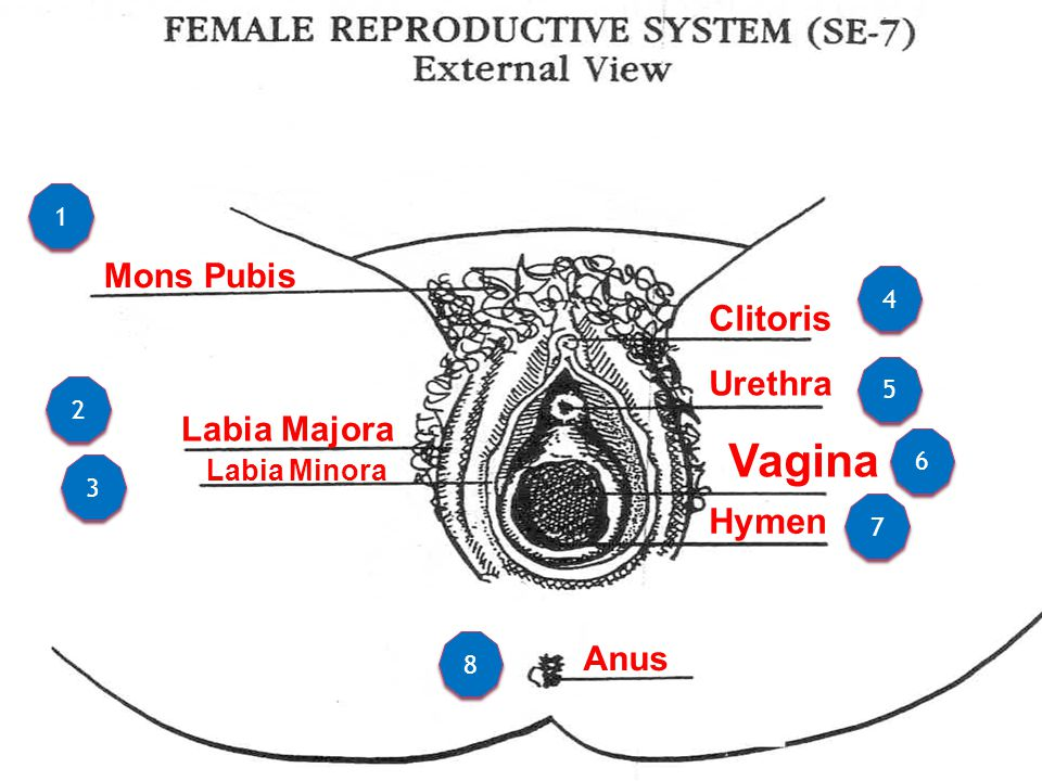 Female reproductive system ppt video online download female reproductive system internal organs 3 vagina ccuart Choice Image